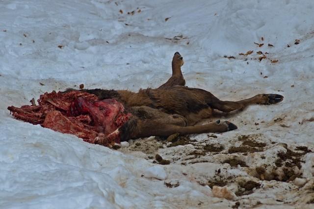 Medvědem stržený jelen. Foto: Michal Kalaš