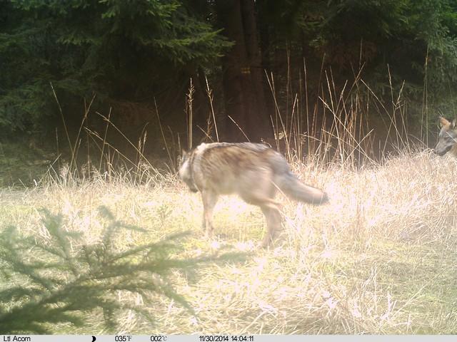 Vlk z Kokořínska. Zdroj: SCHKO Kokořínsko