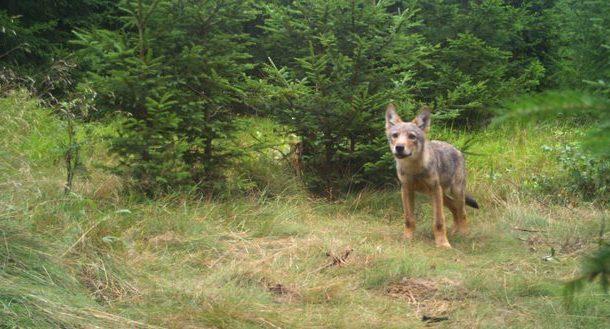 Vlk obecný zachycený fotopastí na Broumovsku. Foto: Hnutí DUHA Olomouc