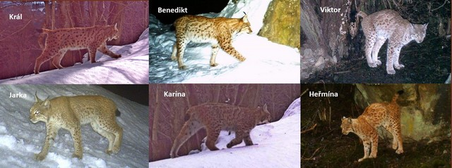 Deterministický monitoring identifikoval 6 dospělých rysů v Javorníkách v zimní sezóně 2011/2012.