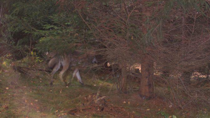 Vlk zachycený fotopastí na Broumovsku