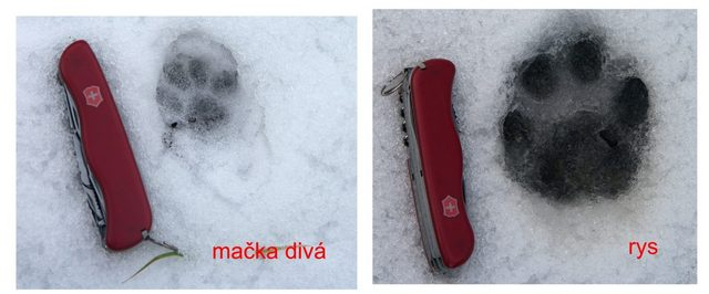 Porovnání stopy kočky divoké a rysa ostrovida. Foto: Juraj Lukáč
