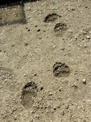 Medvědí stopy na poli nedaleko Třince. Foto: Tomáš Krajča