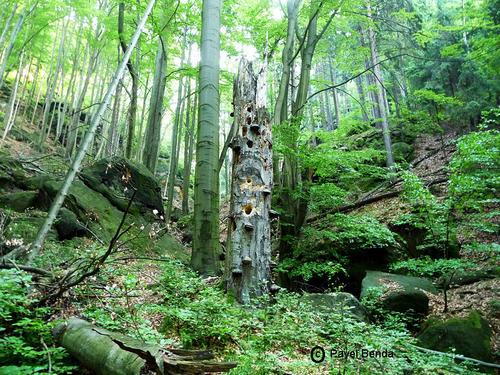 Přirozené lesy Národního parku České Švýcarsko. Zdroj: fotogalerie NPČŠ, http://www.npcs.cz/