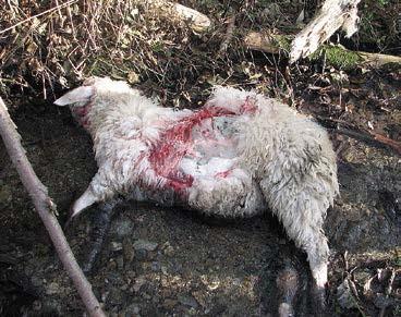 Ovce stržené s největší pravděpodobností vlkem ve Sklenářovickém údolí ve východních Krkonoších v listopadu 2011 (foto T. Janata).