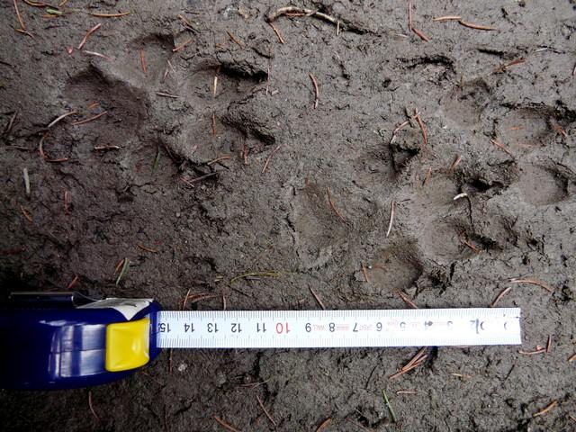 Fotodokumentace stop, které by mohly patřit vlkovi, ale stejně tak by mohly být psí. Vyškolený mapovatel v lokalitě kromě několika dalších podobných stop nenašel žádné jiné pobytové znaky pro přesnější určení. Příklad kategorie C3 – nedostatečná data (Foto: L. Kutalová)