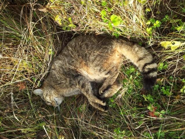 Uhynulá kočka divoká z vojenského újezdu Hradiště z roku 2013, zdroj J. Červený