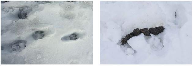 Typické stopy a trus vlka ze stopní dráhy sledované na 5–6 km dlouhé trase z Vraních hor přes Uniemyśl na Hraniční hřbet v CHKO Broumovsko (30. 3. 2013) (obě foto P. Bobr).