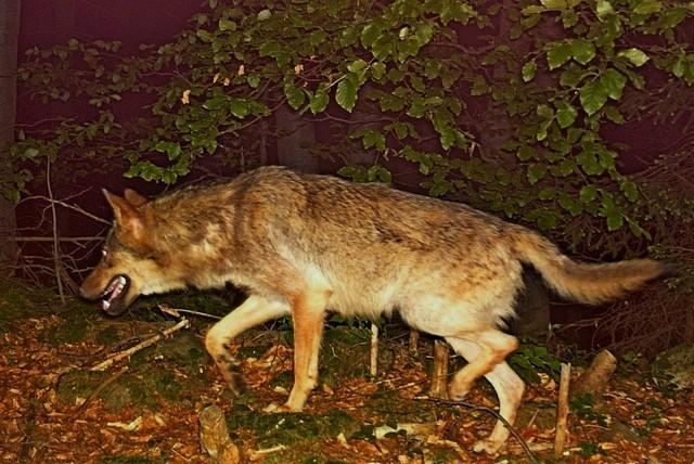 Vlk vyfocený na fotopast v roce 2013 v Javorníkách. zdroj: Hnutí DUHA Olomouc