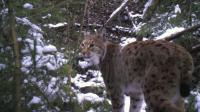 Česká divočina hostí osm desítek rysů. Přežijí u nás?