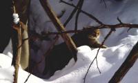 Kočka divoká potvrzena v Bílých Karpatech.