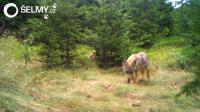 Na Broumovsku se narodila vlčata, dokazují záběry z fotopastí
