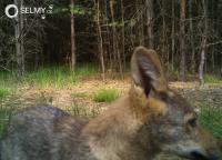 Vlci na Dokesku přitahují dobrovolníky