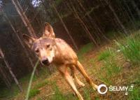 Potvrzeno: vlčí smečka v CHKO Kokořínsko- Máchův kraj se opět rozrostla