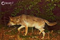 V Bílých Karpatech se objevil vlk