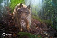 Po stopách vlků v Pošumaví